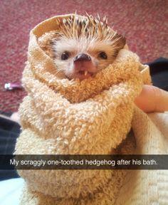 Snaggle toothed hedge hog after a bath
