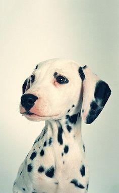 #Dalmatian #Puppy portrait.