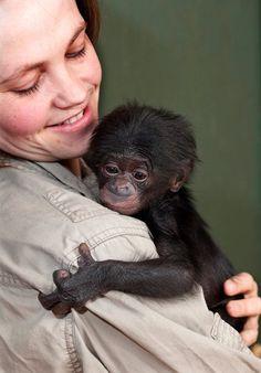 Baby Bonobo Born at Twycross Zoo!