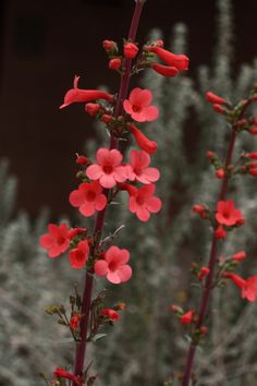 Superb Penstemon-Desert Botanical Garden