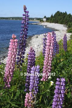 lupins, lupins everywhere....