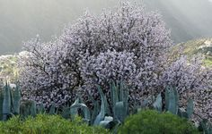 Almond Blossom, Tejeda, Gran Canaria, Spain