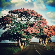 Flamboyant tree, North of Mauritius
