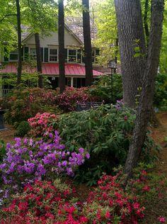 Shade garden with rhodadendrons