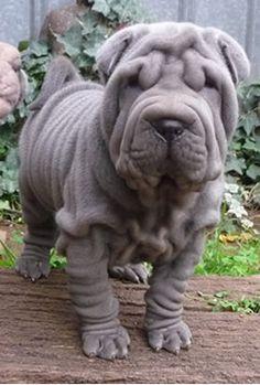 shar pei puppy :)