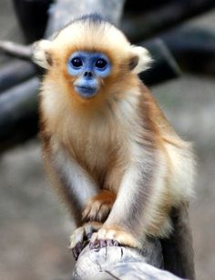 Baby Snub Nosed Monkey steps out at Everland Zoo