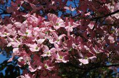 pink flowering dogwood @Hulda Klager Lilac Garden- photo by windsweptartfarm