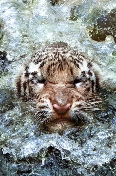 baths, water, big cats, the face, swim team, tigers, baby animals, swimming, bath time