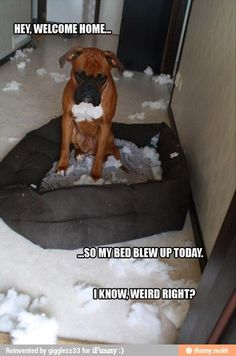 This made me laugh out loud... what a cute dog... although trouble I think G:)     Hey, Welcome Home... So my bed blew up today.  I know, weird right...?