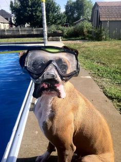 Sparky is taking this diving thing a little too seriously.  And may I just say, poor pooch, Sparky. Get those crazy goggles off.