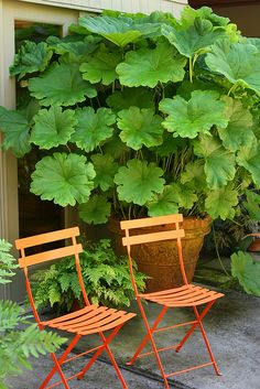 Darmera Peltata (ok in zone 5 & is a shade plant)!! Love the huge leaves. . i want it!!