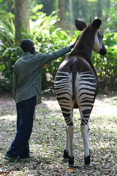 Okapi in Epulu, via Flickr.