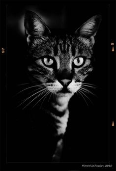 Darkness Cat - Photography by Marc Wildpassion. S)