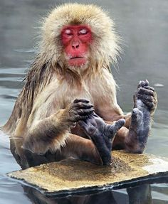 Ah! That's better. A Japanese macacque indulges in a relaxing foot massage at the Jigokudani Monkey Park in Japan