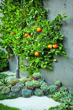 Citrus espalier, bed of succulents