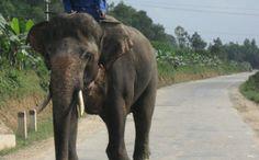 Vietnam's Elephants Almost Gone. Only a few dozen left.