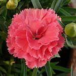 Capricorn = carnation zodiac flower sign