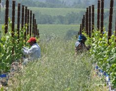 Tying up new growth in the spring at Iron Horse Vineyards
