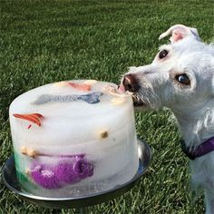 for those hot summer days make your doggie a frozen doggie treat! using water, and maybe some broth make a giant refreshing popsicle with some toys your pup can chew out. :-)
