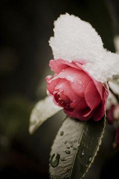Snowy Camellia