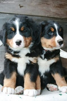bernese mountain dogs, pet, baby dog, bernes mountain, dog puppies, ador, baby animals, friend, big dogs