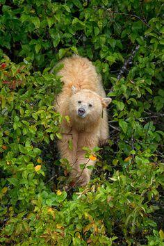 Spirit bear, Canada.