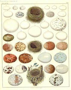 Oeufs - bird egg identification