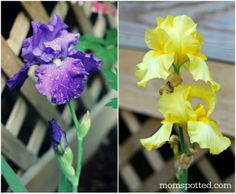 Bearded Lady Yellow & Purple Iris Bulbs Flowers #perennials