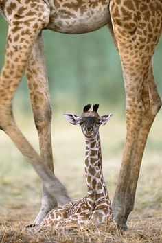 Where are you looking at baby giraffe ?