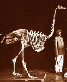 Squelette d'Aepyornis maximus, le plus grand oiseau subfossile malgache  Skeleton of Aepyornis maximus, the largest Malagasy fossil bird