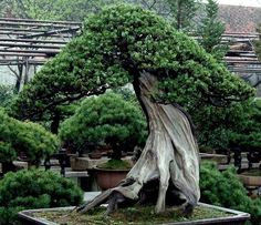 400 to 800 years old trees in Happo-en Garden ar an attraction for any bonsai lover visiting Tokyo.