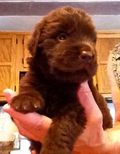 Welcome to Baby Porter, our Non-Drooling Chocolate Newfoundland Stud Puppy! (Stud Muffin!) He is 4 weeks old in this picture!