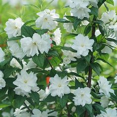 Illuminati Arch® Philadelphus - Wouldnt you adore a lovely fragrant low growing hedge surrounding your patio or just below your deck area? Just as the spring weather is beginning to warm into summer, you'll enjoy sitting outside and breathing in such sweetness. The upright branching will be covered with double white flowers growing up to 4 feet tall with as much as a 4 foot spread. This striking white flowering shrub will bring you many evenings of pleasure. Spring, Summer Plant. Zones: 4,5