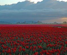 netherlands....tulips