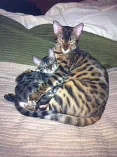 bengal kitten and cat