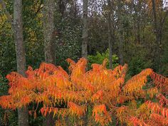 Cutleaf  Staghorn Sumac by mpeirce, via Flickr