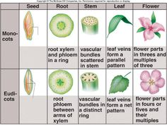 C1 W8  Difference between a monocot & dicot