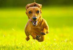 Seria o Super Daschshund! Quem tem desta raça, como eu tenho, sabe a preciosidade que são.
