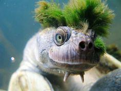 punk rock, shells, green, turtles, rivers, hair, mari river, river turtl, rare animals