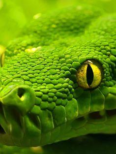 Lovely emerald python.