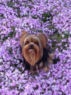 Yorkie and Purple (my favorite things)
