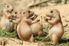 Sharing is caring. share, animals, prairi dog, dogs, photographs, animal photography, wildlife, disney films, squirrel