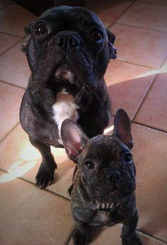 Fidji & Papuche - french bulldog