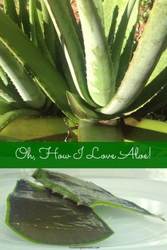 Heals sunburn and skin conditions quickly Aloe is Antibacterial, antiviral, antifungal Heals ulcers Great for a Colon cleanse and many m...