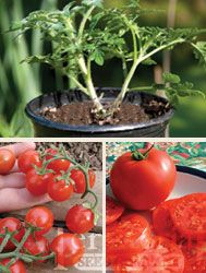 Territorial Seed Co. new grafted tomato plants for hardier stock