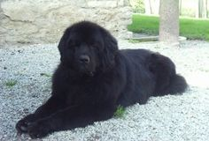 someday i want one of these newfoundland dogs! so beautiful! little-loves