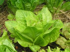 Introduce kids to veggie gardening with easy to grow Lettuce, Beans, Peas, and Radish.