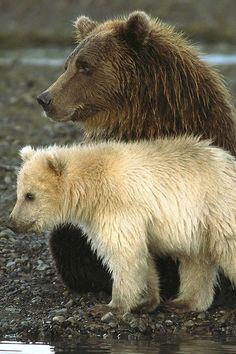 brown bear with white spirit bear cub