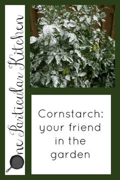 Cornstarch: your friend in the garden...cornstarch...who would have thought...sounds like it works! I will give this a try!