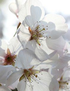 Japanese Cherry Tree Blossoms